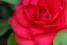 Classy Camellias
