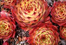 Sempervivums / This board is created to show the amazing varieties available of Sempervivum Alpine plants. Also known as Hens & Chicks