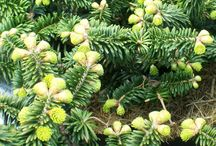 Conifers / Conifers are cone-bearing, woody seed plants, mostly trees and mostly evergreen, characterised by their attractive conical shape. They are an excellent way of adding colour and shape to your garden and are relatively easy to look after. Many conifers have long, thin leaves, often with a needle-like appearance, whereas others have broad, flat, strap-shaped foliage. Conifer seeds develop inside attractive, protective cones which will help to attract a range of birds to your garden.