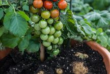 Ketchup 'n' Fries ™ - The tomato and potato plant / Harvest tomatoes above ground and potatoes below ground from this one incredible plant. A grafted combination.
