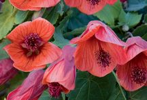 ABUTILON / Abutilon is also known as the flowering maple. Although it is no relation to the maple tree, Abutilon does have maple-like palmate leaves. You may also notice a similarity to mallows and hibiscus. These are cousins of Abutilon, and in addition to similar flower shapes, they share the ability to produce dozens of flowers. In fact, a happy Abutilon can flower almost non-stop