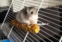 My dwarf hamster Lucas :)