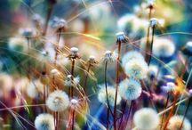 dandelion / by Jazzy Fleur
