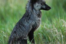 Foxes / Лисы во всей своей лисости :3