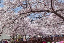 travel [ Spring ] / spring travel, cherry blossom season, where to see cherry blossoms, best flower fields