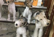 Lakeland Terrier Love