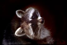 Racoons...