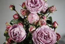 Freilandrosen aus Deutschland / Exklusive bei Blumen Meister GmbH www.blumenmeister.com