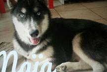 husky dog Maïa