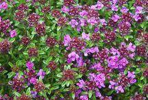 Perennials / Perennials