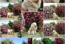 Broken Hill's Heart chow-chow kennel - our wonderful chows in our amazing rose garden