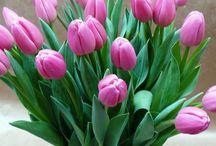 Растения: тюльпаны