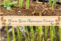 Growing Asparas