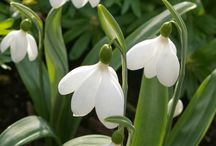 Galanthus Cultivars / by guenter dr.