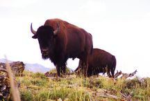 Bison Bulls Anatomy