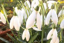 Spring in Sweden / Snowdrops snödroppar