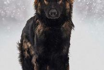 Λυκόσκυλο