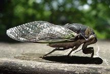 Cigale Cicada