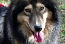 chien amérindien