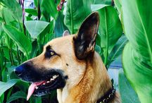 """Giselle at the Beach / GSD Service Dog,  Gisele spent the day at the beach wearing her brand new 1"""" Diego Collar in Tobacco leather and Blue Paua stones."""