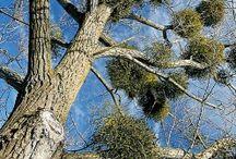 Mistletoe / Parasitism