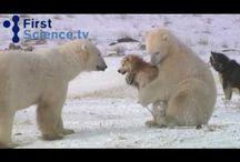 Osos Polares / El animal carnivoro terrestre más grandes del planeta