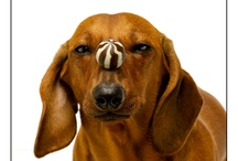 Cute Doggies (Dachshunds) / by Jennifer Newman