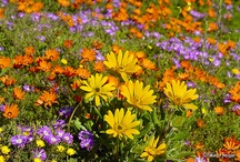 Namaqualand / Photography of the beautiful wild flowers and landscapes of Namaqualand, by Martin Heigan.