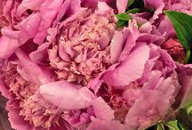 Peonies / A whole board dedicated to the peony