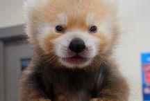 chloe: red  panda / by Angela Dunn