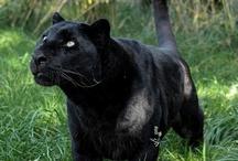 Grandes gatos
