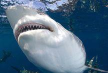 Lo squalo Pinna Nera / Shot da primo piano di squali pinna nera (Carcharhinus limbatus ) ad Aliwal Shoal in Sud Africa.
