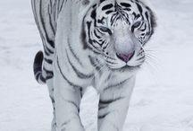 animal polaire