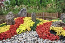 Chryzantemy  w ogrodzie