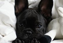 Pugs, French bulldogs and English bulldogs