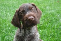 Arlo - German wirehaired pointers