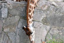 žirafy a lenochodi