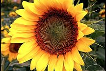I am like a sunflower  / So... Just keep on smiling