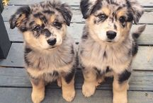 aussie shepherd love / by Stacy Norris