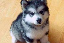 Husky Puppies! Too Cute.