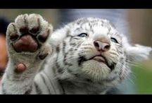 The Big Cats & Public Safety Protection Act / Support HR 4122 & S 3547 Visit: https://www.votervoice.net/BCR/Campaigns/30111/Respond