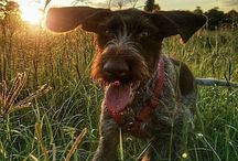 Wirehaired Pointing Griffon - ❤️