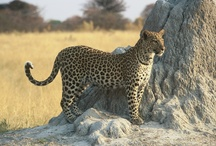 Zambia Wildlife / Zambia, and the Luangwa Valley in particular, has a wide array of African wildlife and some species not found anywhere else.
