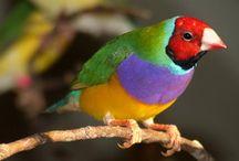 Birds - Finches