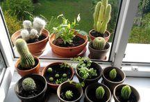 Kaktusy, kwiaty / zdjęcia mojego autorstwa\ kaktusy, kwiaty, które posiadam i te, których zostały mi już tylko zdjęcia