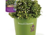 Brazel Berries