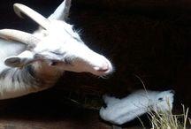 Vuohet / Goats / Äiskän vuohia kuvailen