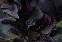 Irysy czarne