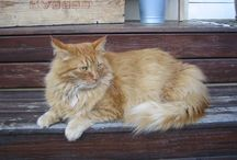 Maine coon / Turbo min skatt