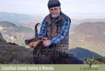Carpathian chamois hunting in Romania
